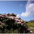 合歡山區玉山杜鵑