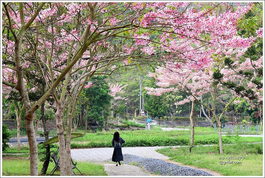 竹崎公園花旗木 (4).JPG