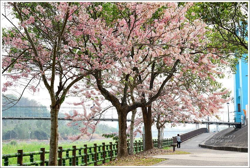 竹崎公園花旗木 (2).JPG
