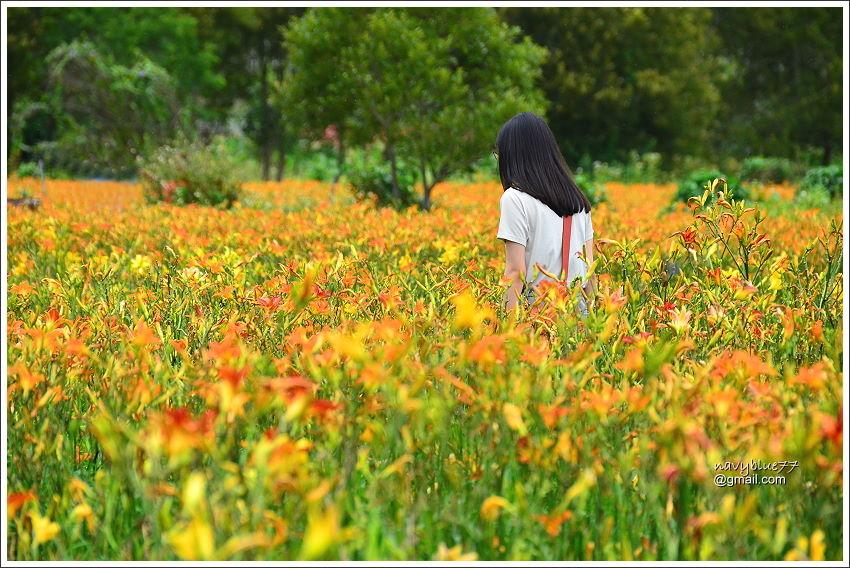 日月潭金針花園 (16).JPG