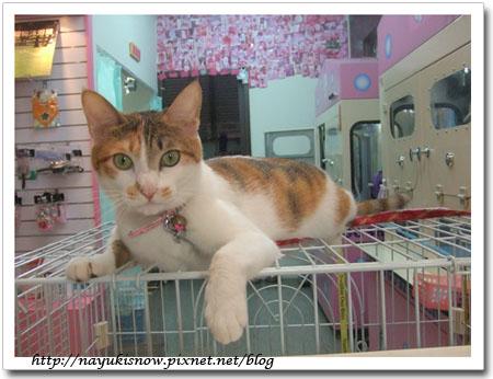 這隻就是店貓~牠是麻衣
