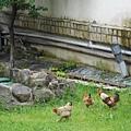 家戶養雞仍非常普遍
