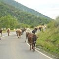 在公路上行走的牛群