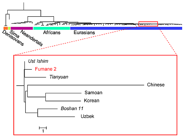 Phylogenetic analysis of the Fumane 2 mtDNA genome
