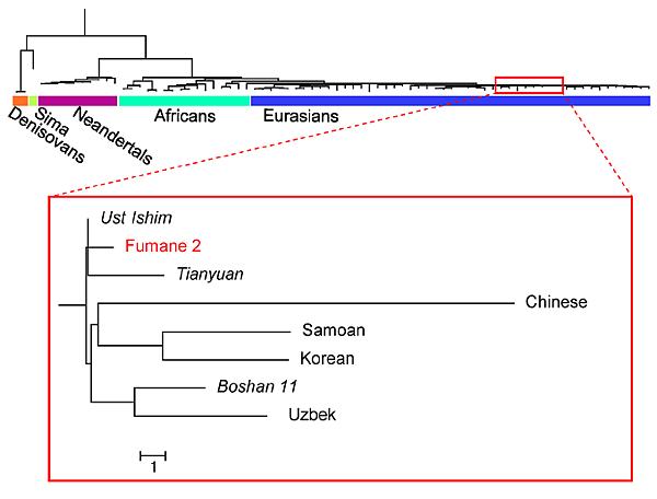 Phylogenetic analysis of the Fumane 2 mtDNA genome