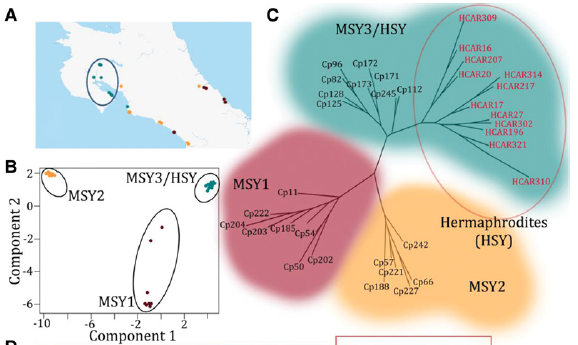 geographic distribution and phylogenetic analysis of papaya populations