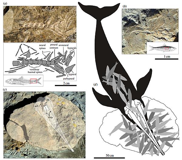 beak whale fossil
