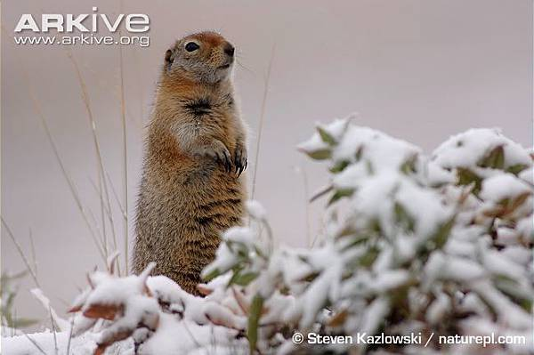 Arctic-ground-squirrel