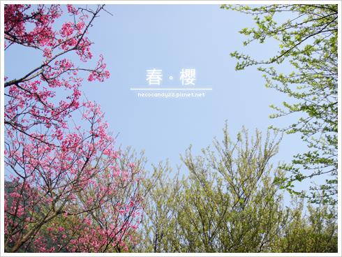 櫻花,觀音山 賞櫻