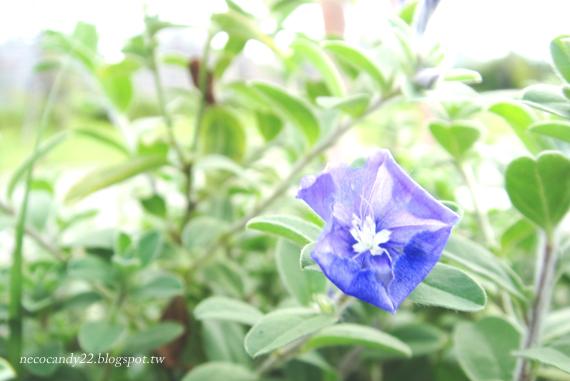 藍星花 Blue Daze