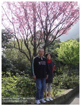 這棵櫻花很多人拍