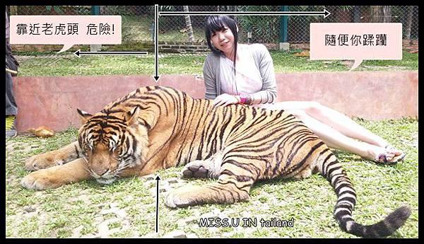 ♥ Tiger Kingdom 清邁老虎園 ♥