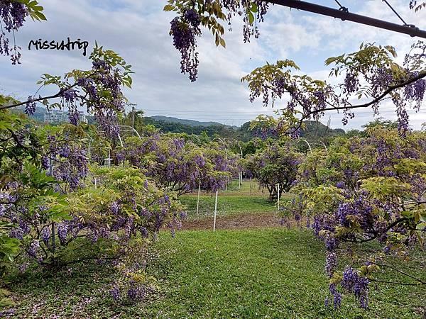 淡水紫藤咖啡園