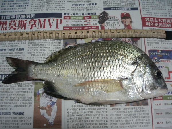 26cm,竹安河第一次釣到。