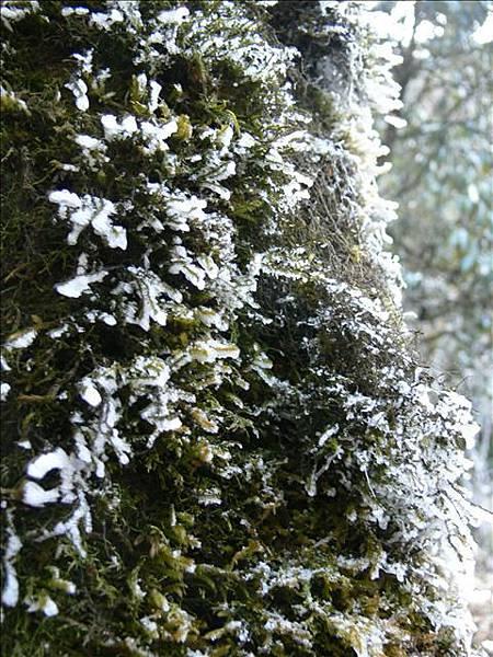 苔蘚上的霜