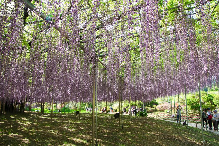 日本紫藤花 浪漫紫藤-0391.jpg