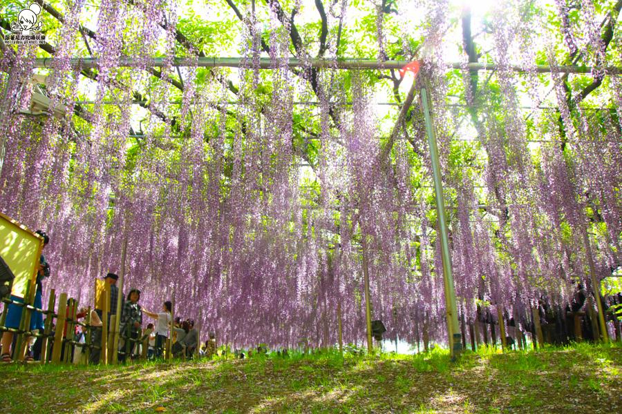 日本紫藤花 浪漫紫藤-0397.jpg