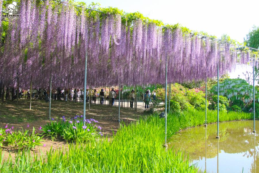 日本紫藤花 浪漫紫藤-0402.jpg