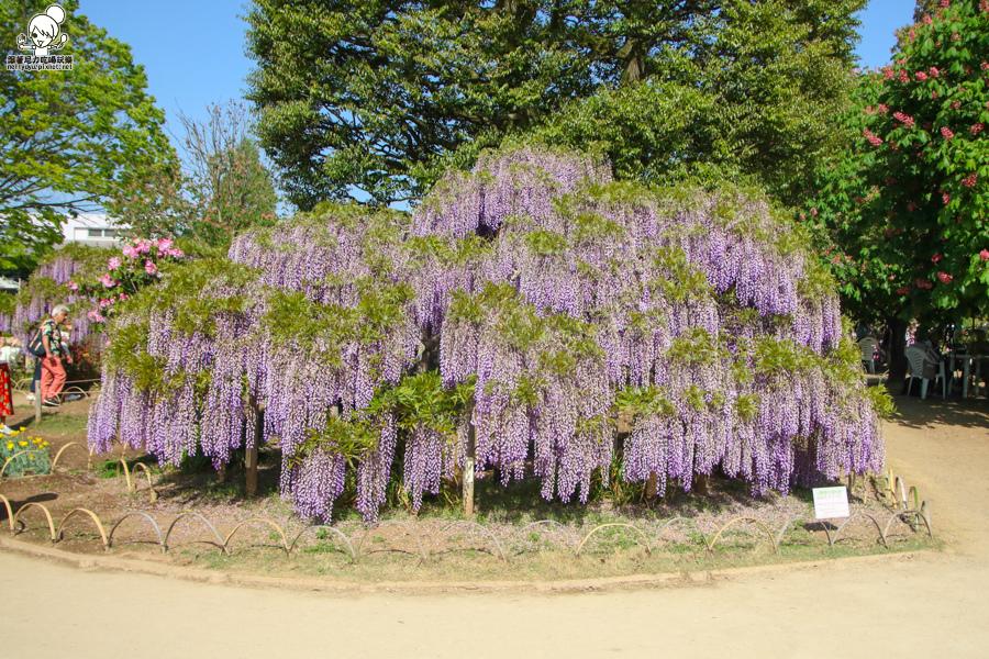 日本紫藤花 浪漫紫藤-0414.jpg
