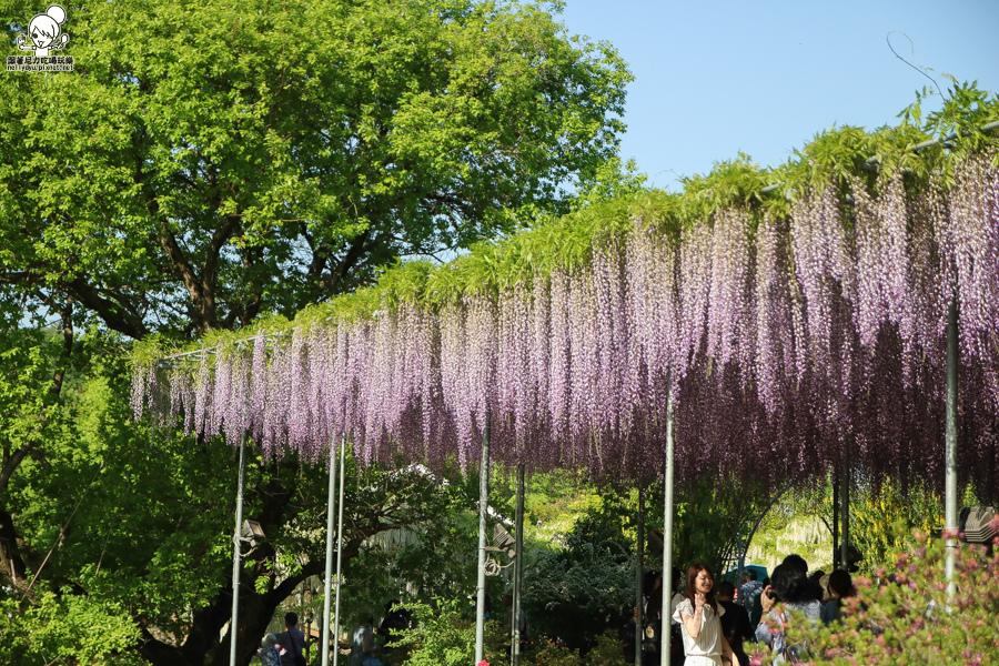 日本紫藤花 浪漫紫藤-0461.jpg