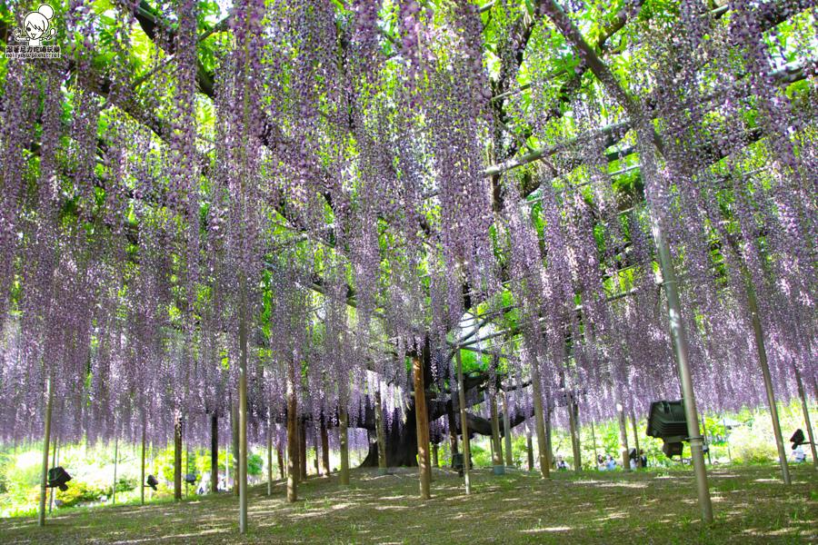 日本紫藤花 浪漫紫藤-0496.jpg