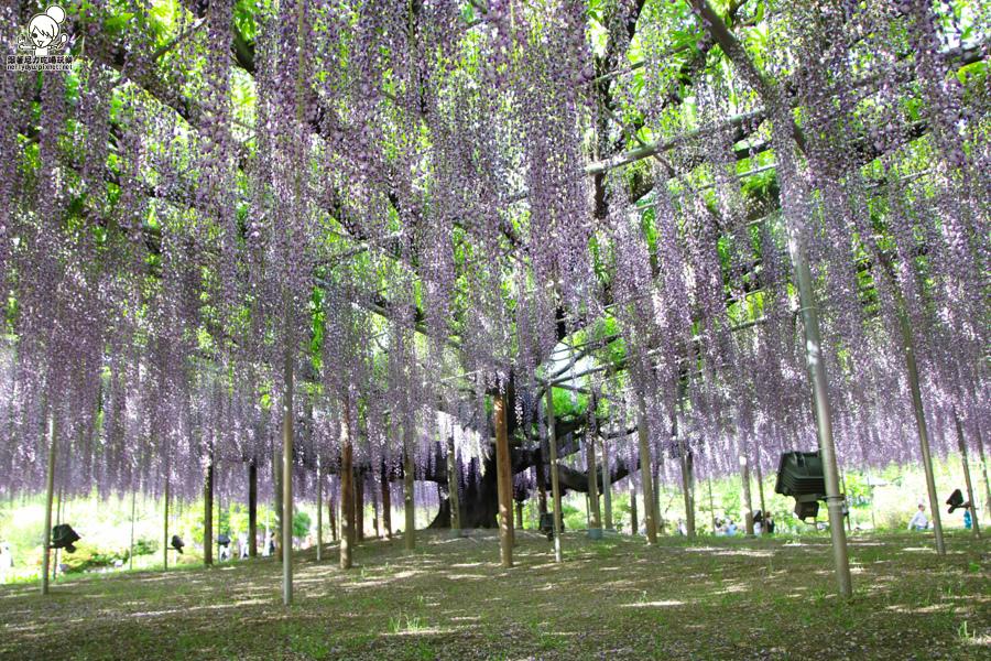 日本紫藤花 浪漫紫藤-0495.jpg