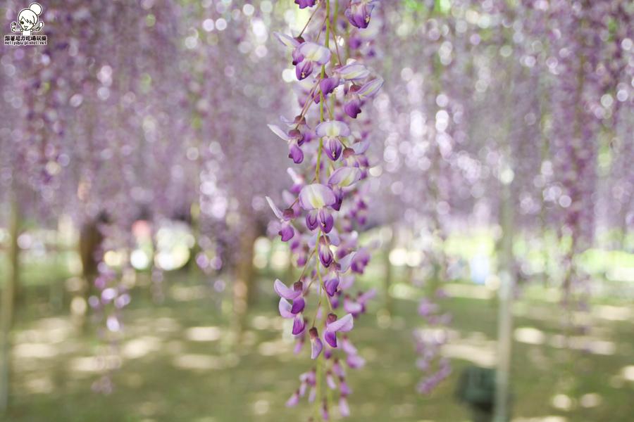 日本紫藤花 浪漫紫藤-0498.jpg