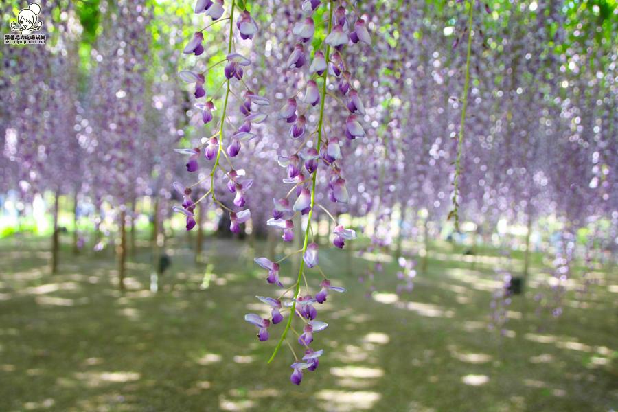 日本紫藤花 浪漫紫藤-0501.jpg