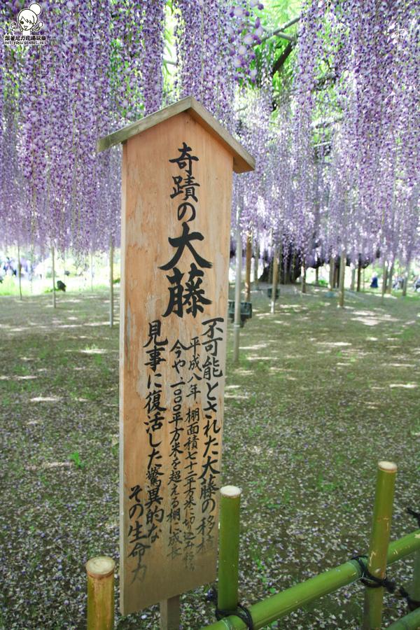 日本紫藤花 浪漫紫藤-0500.jpg