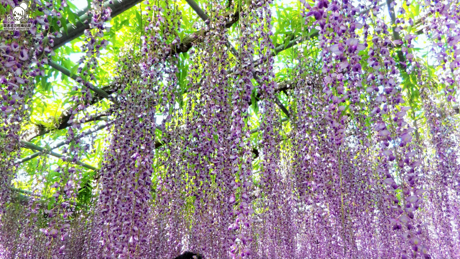 足利紫藤花-145553.jpg