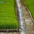 東部第一期稻作 插秧2.jpg
