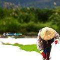 東部第一期稻作 插秧3.jpg