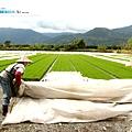 東部第一期稻作 插秧10.jpg