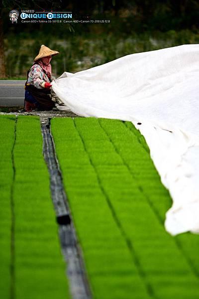 東部第一期稻作 插秧12.jpg