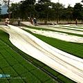 東部第一期稻作 插秧13.jpg