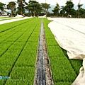 東部第一期稻作 插秧14.jpg