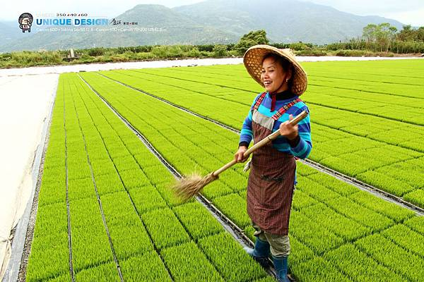 東部第一期稻作 插秧15.jpg