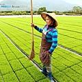 東部第一期稻作 插秧16.jpg