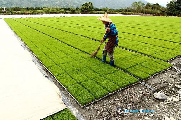 東部第一期稻作 插秧17.jpg