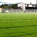 東部第一期稻作 插秧21.jpg