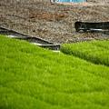 東部第一期稻作 插秧23.jpg