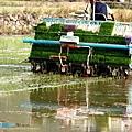 東部第一期稻作 插秧32.jpg