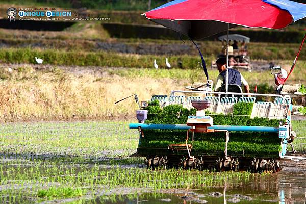 東部第一期稻作 插秧38.jpg