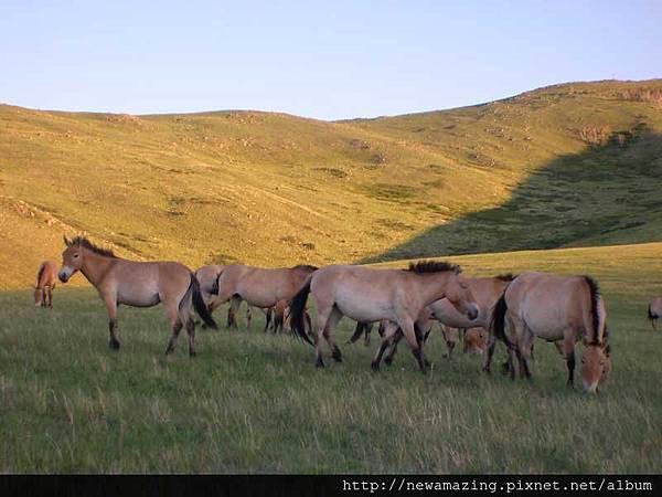 nEO_IMG_哈斯台國家公園蒙古野馬8