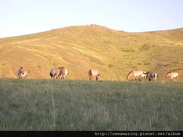 nEO_IMG_哈斯台國家公園蒙古野馬7