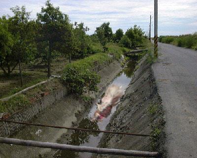水溝中的死豬