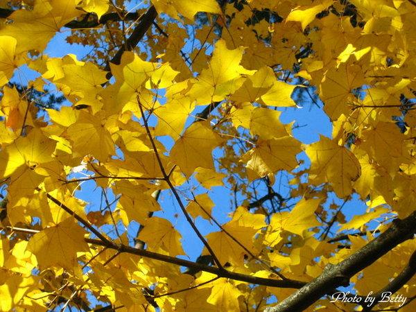 楓葉也有黃的時候.JPG