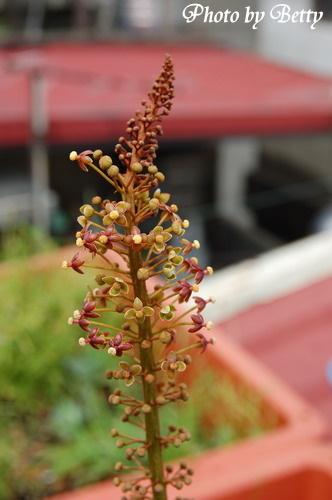 豬籠草的花
