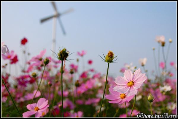2009大寮波斯花海09.JPG