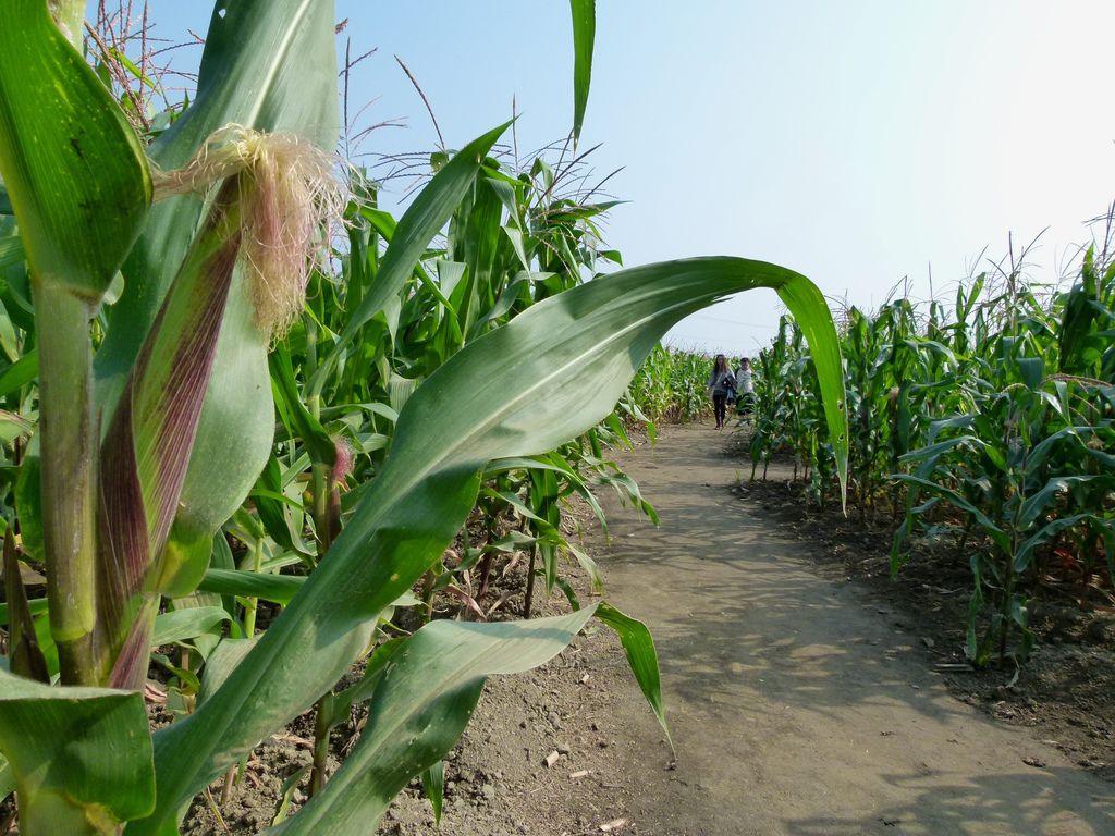 0228嘉義縣義竹鄉玉米迷宮